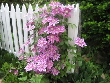 Lilac Beauties