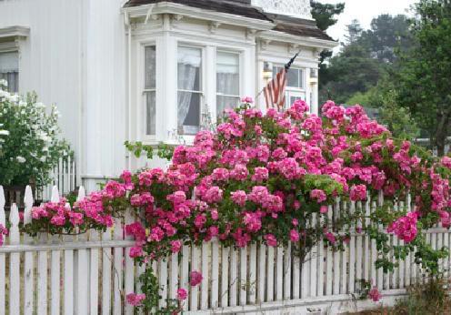 Pink Cottage Roses